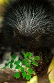 Baby Porcupine (Erethizon dorsatum) with Leaves - captive animal poster