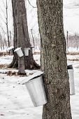 Forest of Maple Sap buckets on trees in spring poster
