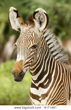 Calf Zebra Profile
