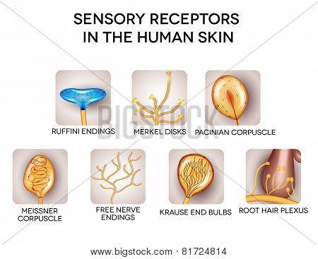 Sensory Receptors In The Human Skin