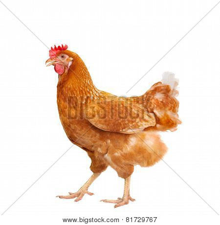 Full Body Of Brown Chicken Hen Standing Isolated White Background Use For Farm Animals And Livestock