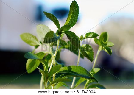 Close Up Of Stevia Plant In Sunshine