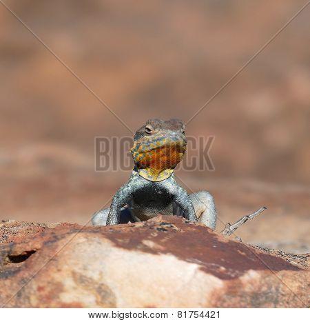 Yellow Throated Plated Lizard