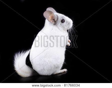 White Ebonite Chinchilla On Black