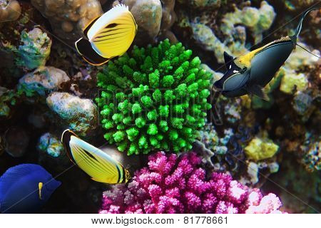 Coral And Fish-rhino  In The Red Sea. Egypt, Africa.