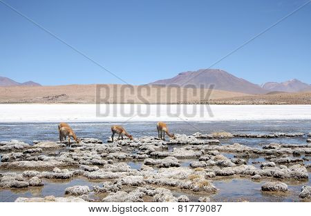 Vicunas or wild lamas in Atacama Desert, America