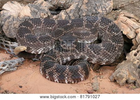 Portrait of a Southern Pacific Rattlesnake (Crotalus viridis helleri). poster