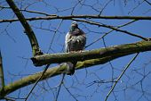 A mourning dove against a bright blue sky poster