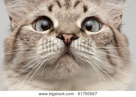Closeup Cat With Round Eyes Curiosity Looking On His Nose