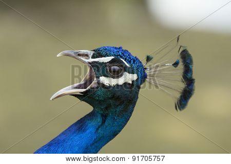 Peacock Screams