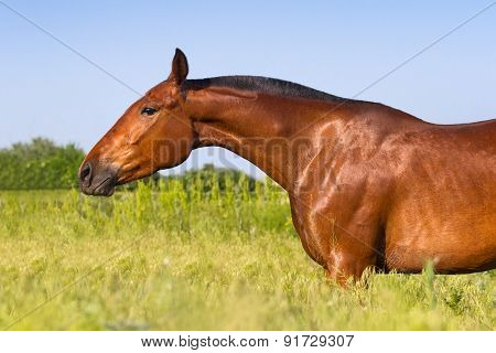 Horse portrait in summer field