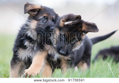 Two Cute German Shepherd Puppies