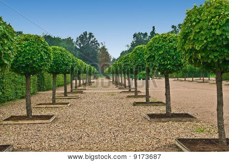 Avenue Of Lindens  In Palace Formal Garden