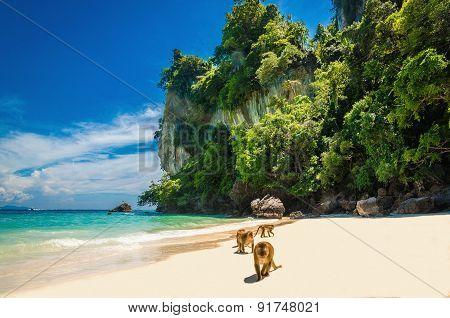 Monkeys waiting for food in Monkey Beach, Thailand