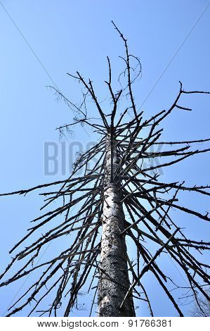 single dead dry pine on white background