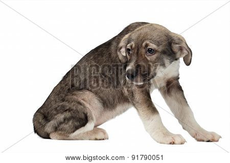 Mixed Breed Puppy Pitifully Looks Isolated on White