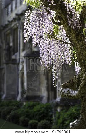 Wisteria flowers and plant in front of old stone building in sunlight
