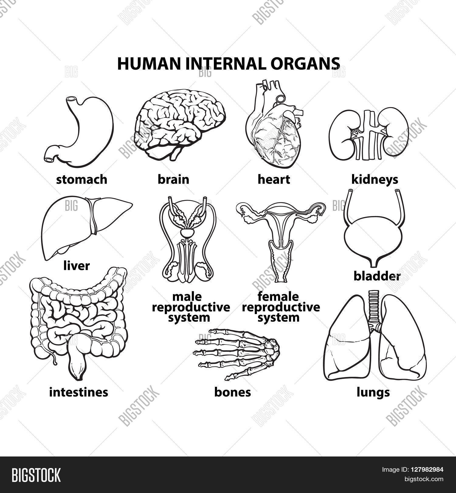 set of human organs, different human entrails, black and white sketch art,  brain