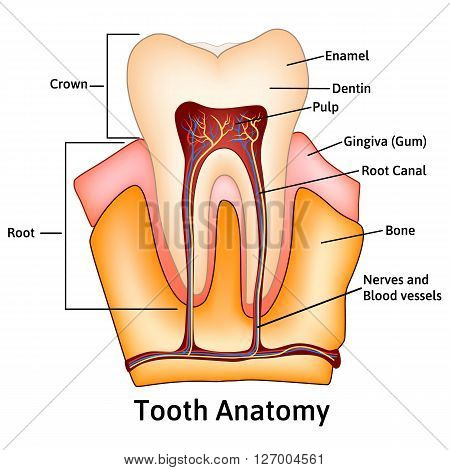 Human tooth structure medical science educational raster illustration