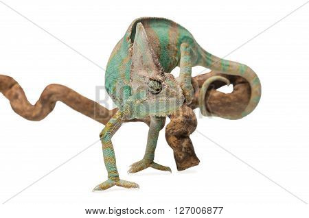 Greenish brown chameleon on branch isolated on white background