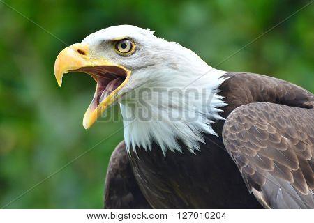 Bald Eagle Close Up. Bird of Prey