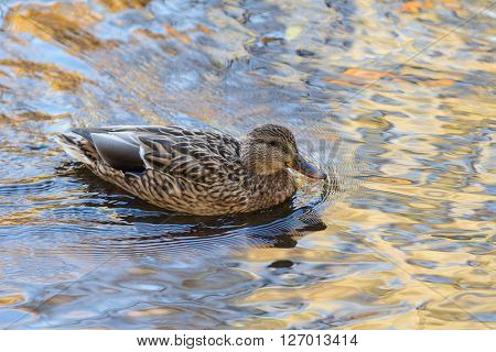 duck in the water with reflections of autumn