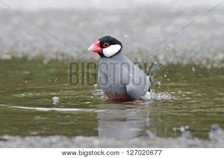Java sparrow Java finch Lonchura oryzivora Bird shower ** Note: Soft Focus at 100%, best at smaller sizes