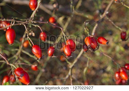Closeup of rose hips on a bush