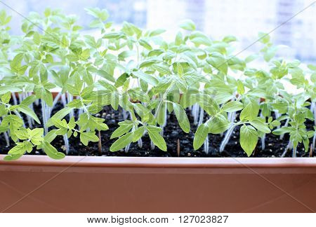 Tomato seedlings on the windowsill at home