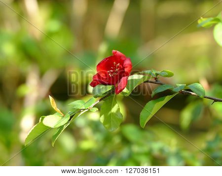 Japanese quince Chaenomeles japonica flower in blurred background