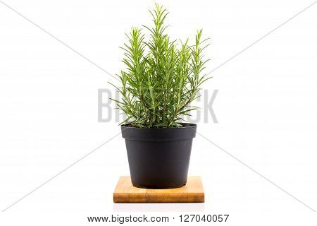 Rosemary Inside A Black Pot