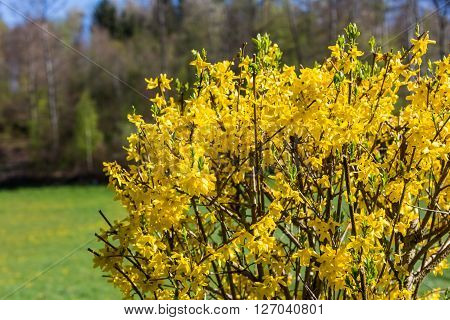 Detail view of a Blooming Forsythia bush