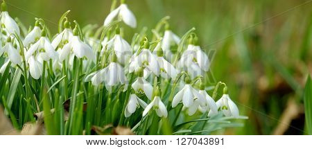 Blooming beautiful snowdrops in spring. Snowdrops in late winter