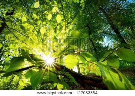 Rays of sunlight beautifully shining through the green leaves of a beech tree just above the forest ground