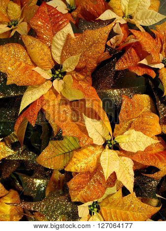 Copper colored, glittery poinsettias leaves, view from top