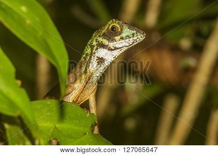 Brown-patched Kangaroo lizard,  Sri Lankan Kangaroo Lizard, Sinharaja National Park, Sri Lanka ** Note: Soft Focus at 100%, best at smaller sizes