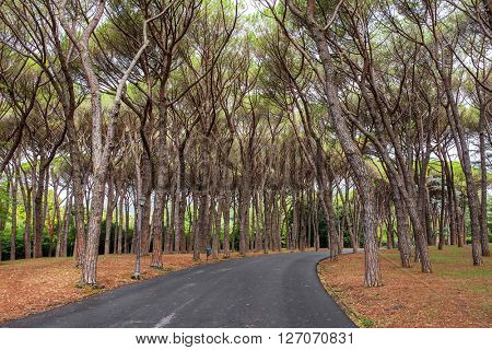 Road throught the beautiful pine forest