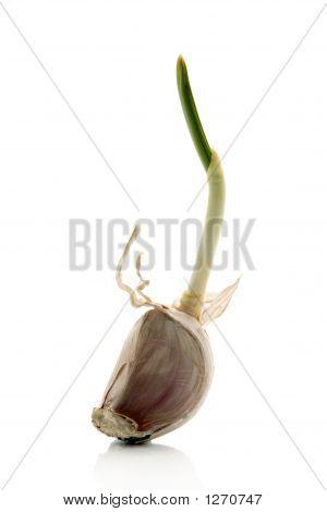 Clove Of Garlic