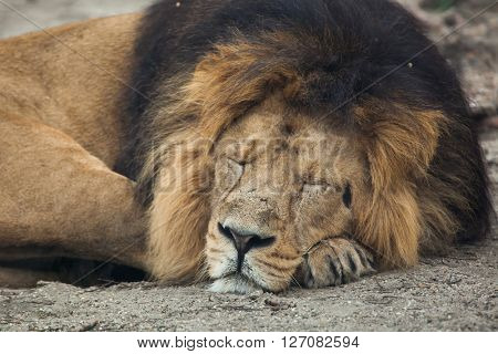 Male Asiatic lion (Panthera leo persica), also known as the Indian lion. Wild life animal.