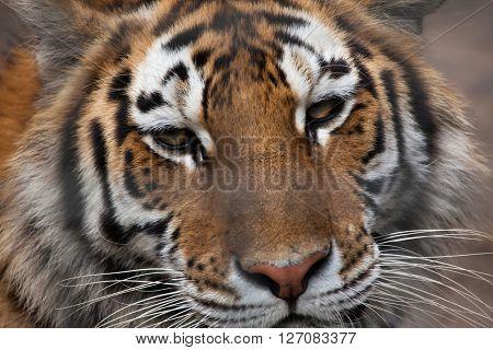 Siberian tiger (Panthera tigris altaica), also known as the Amur tiger. Wild life animal.
