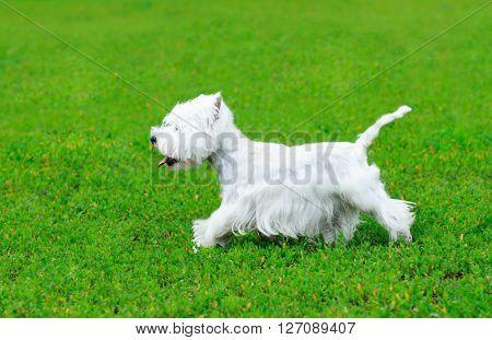 West highland white terrier dog running over green grass