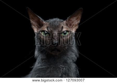 Closeup portrait of Werewolf Sphynx Cat Angry Looking in Camera Isolated on Black Background