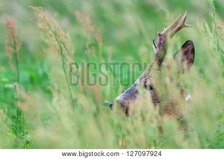 Roebuck hidden in the grass in the wild
