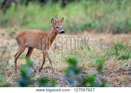 Roebuck in the wild in the forest