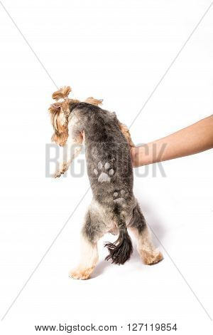 Little Yorkie pup with new haircut in groomer's hand - isolated on white and with shadow on the floor