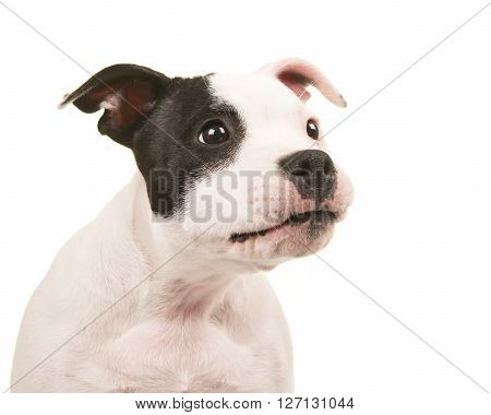 Cute and funny black and white pit bull terrier puppy dog portrait looking to the right on a white background
