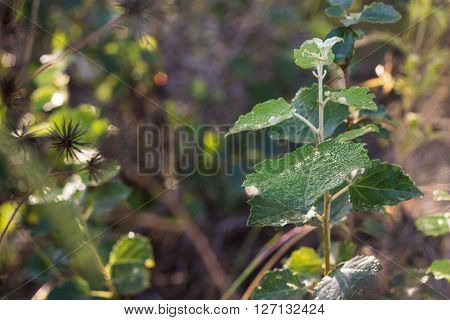 Young poplar tree with rain drops on leaf and blurred background ** Note: Visible grain at 100%, best at smaller sizes