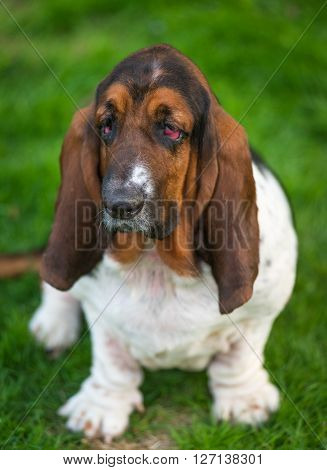 One year old Basset hound (Canis lupus familiaris) in the yard of a hobby farm.