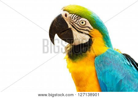 Blue and Gold macaw bird isolated on white background.