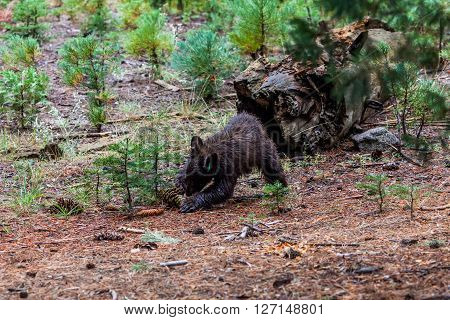 Brown baby bear in Sequoia National Park California